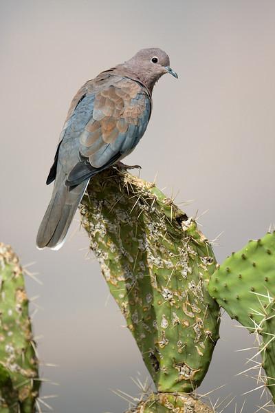 Laughing Dove (Spilopelia senegalensis).