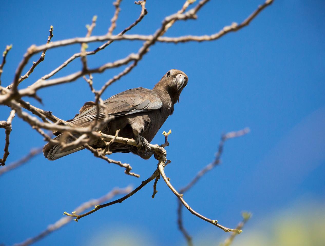 Greater Vasa Parrot (Coracopsis vasa).