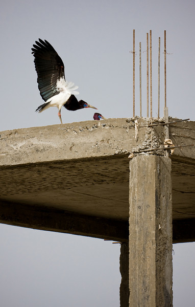 Abdim's  Stork.<br /> <br /> Location: Axum, Ethiopia<br /> <br /> Lens used: Canon 100-400mm 4.5-5.6 IS