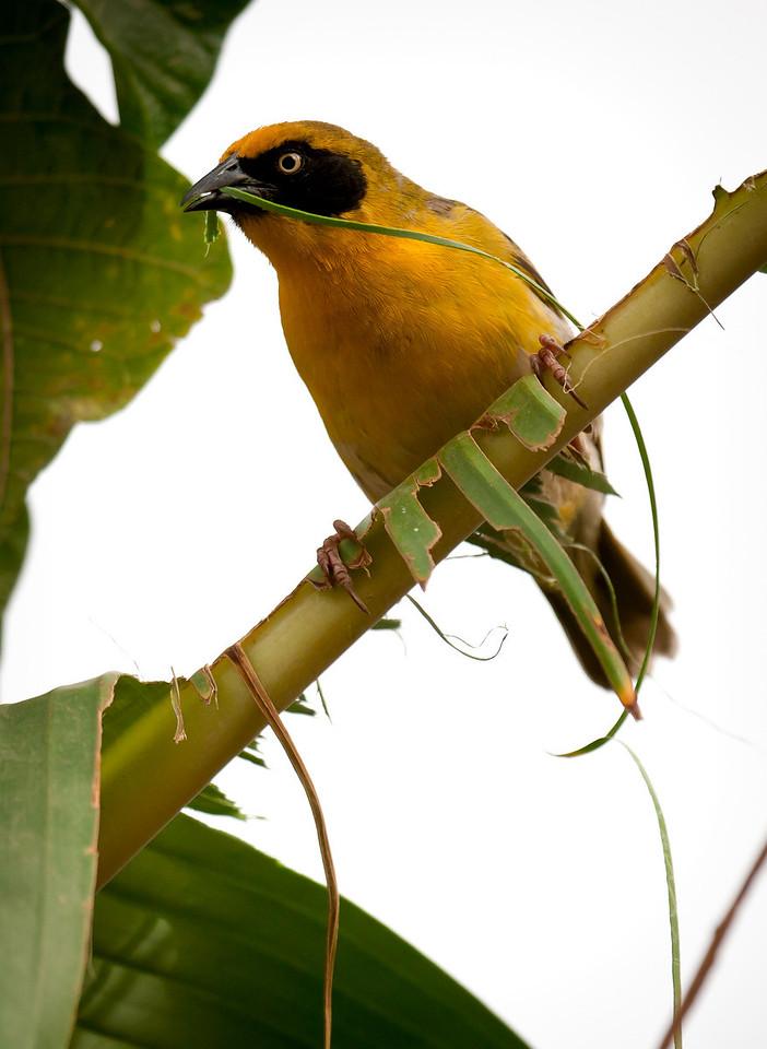 Speke's Weaver (Ploceus spekei).