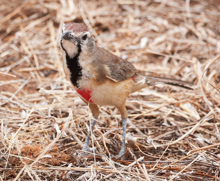 Rosy-patched Bush-shrike, female (Rhodophoneus cruentus hilgerti).