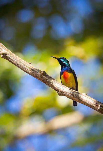 Mayotte Sunbird (Cinnyris coquerellii).