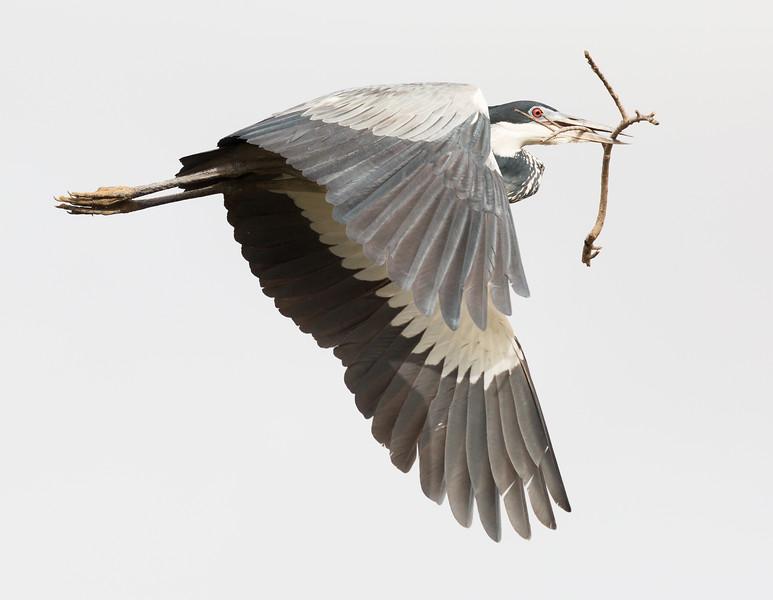 Black-headed Heron (Ardea melanocephala).