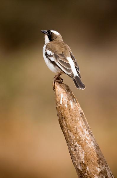 White-Browed Sparrow-Weaver (Plocepasser mahali).