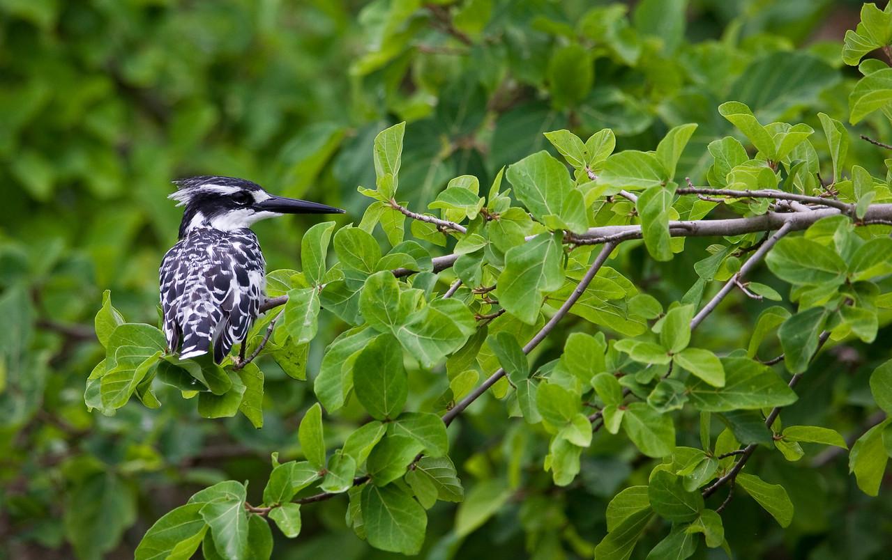 Pied Kingfisher (Ceryle rudis).