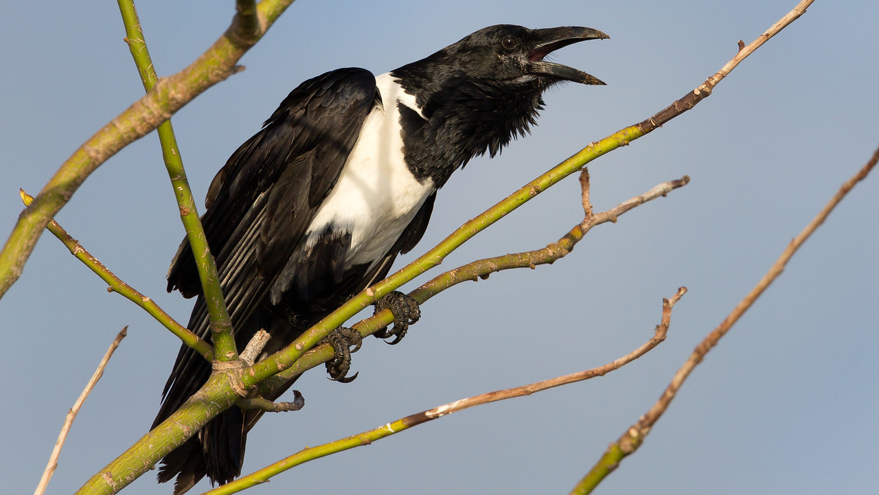 Pied Crow (Corvus albus).