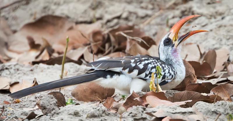 Western Red-billed Hornbill, male (Tockus kempi).