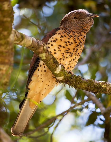 Cuckoo-Roller, female (Leptosomus discolor)