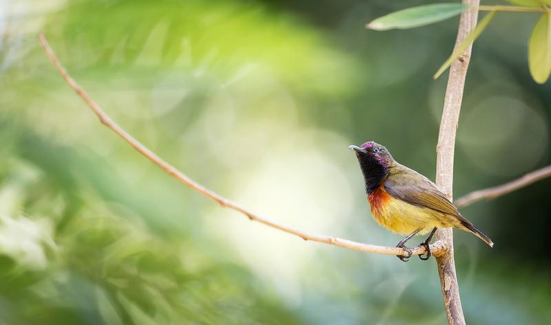 Humblot's Sunbird (Cinnyris humbloti).