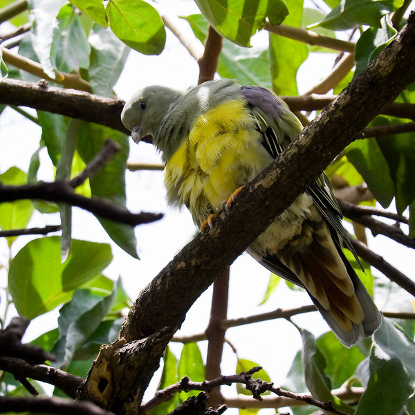 Bruce's Green Pigeon.<br /> <br /> Location: Bahir Dar, Ethiopia<br /> <br /> Lens used: Canon 100-400mm f4.5-5.6 IS