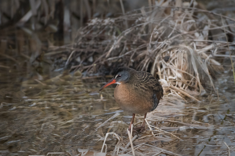 Virginia Rail / Râle de Virginie