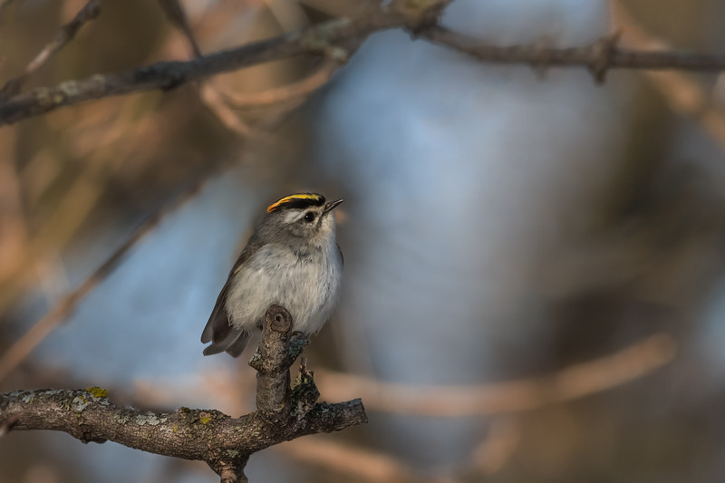 Golden-crowned Kinglet / Roitelet à couronne dorée