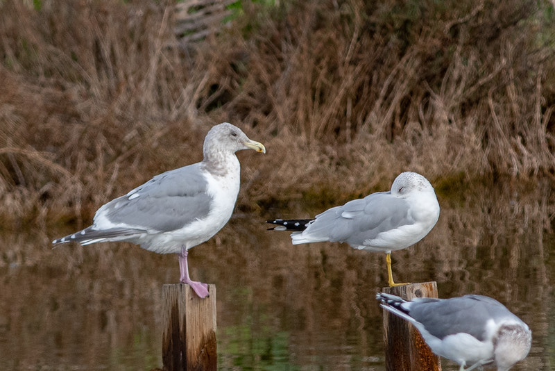 Herring Gull x Glaucous Gull, Ring-billed Gull, and California Gull (front right)