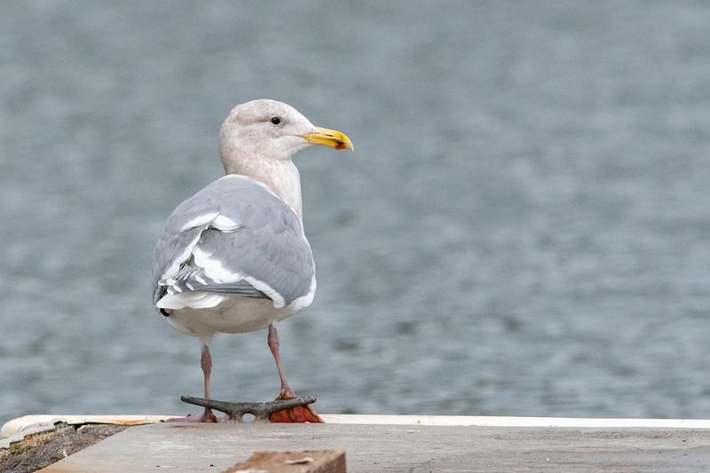 Gloucous-winged Gull