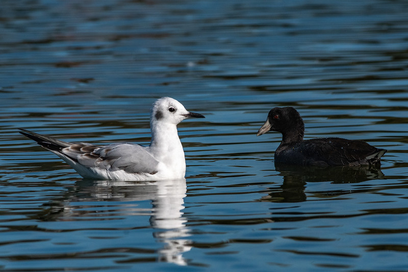 Bonaparte's Gull and American Coot
