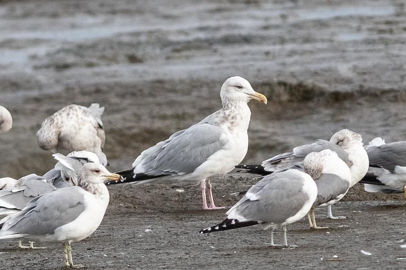 Herring Gull with California Gulls