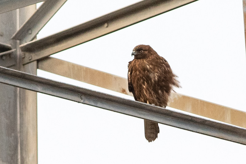 """Western"" Red-tailed Hawk"
