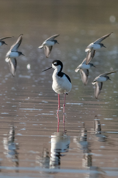 Black-necked Stilt and Least Sandpipers