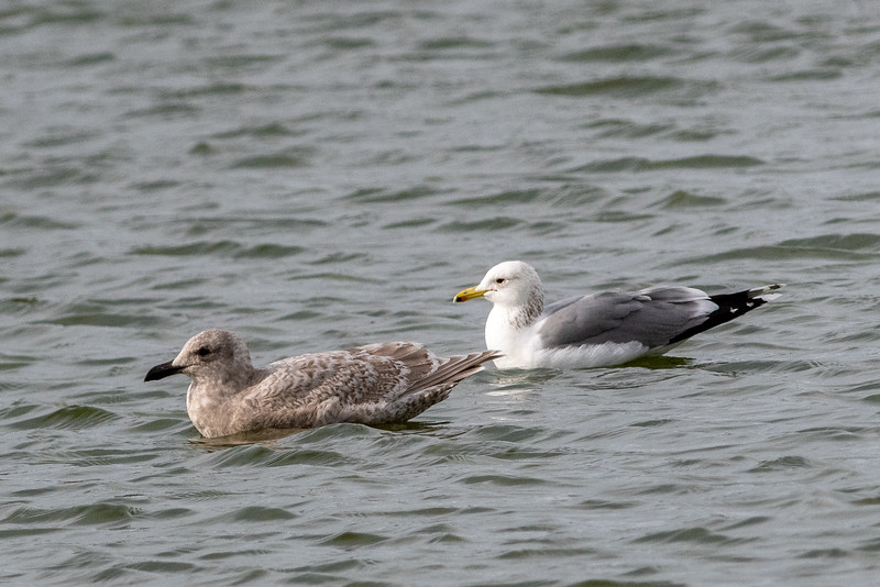 Glaucous-winged x Herring Gull Hybrid (left) with California Gull