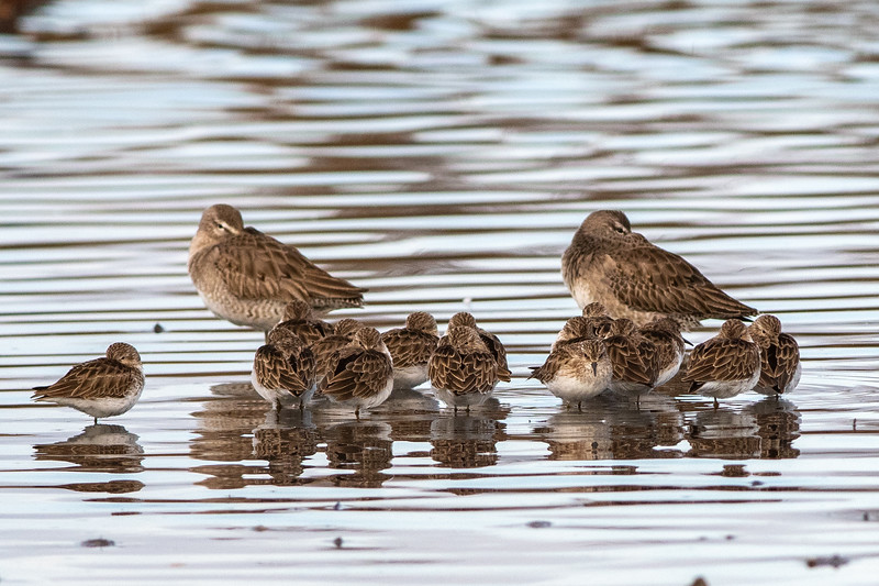 Long-billed Dowitchers, each with a brood of Least Sandpipers