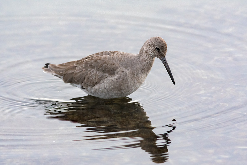 Willet (adult non-breeding)