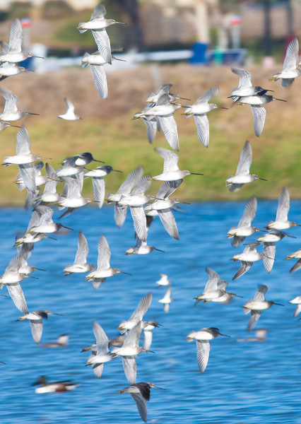 Short-billed Dowitchers, Western Sandpipers, Dunlins, Ruddy Ducks, Northern Shoveler