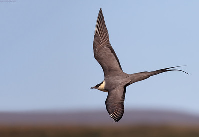 Long Tailed Jaeger in action