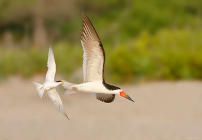Least Tern and Black Skimmer