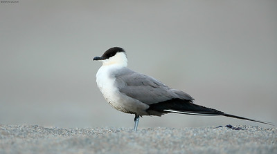 Long Tailed Jaeger profile