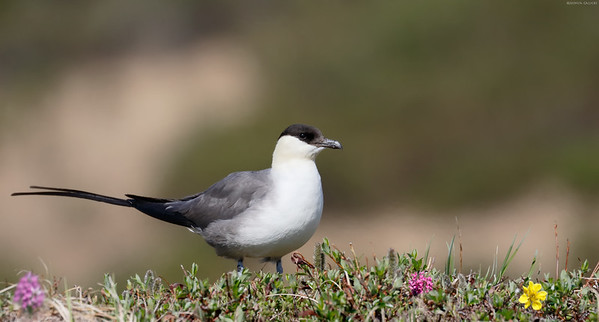 Long Tailed Jaeger