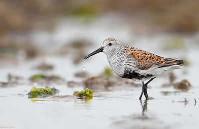 Dunlin salivating