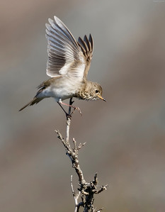 Grey Cheeked Thrush launch