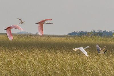 Roseate Spoonbill - Great White Egret - Great Blue Heron in Flight