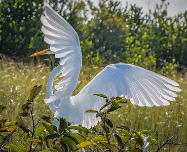 Great White Egret in Graceful Pose