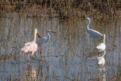 Snowy Egrets with Roseate Spoonbill in Wetlands