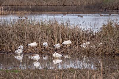 Snow Geese Sleeping in Wetlands