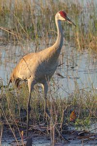 Sandhill Crane at Sunset in Lake