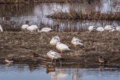 Snow Geese Resting in Wildlife area