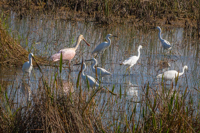 Roseate Spoonbill joining a group of Snowy Egrets