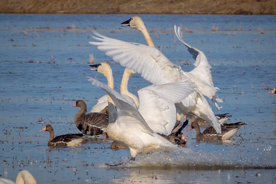 Tundra Swans Touch Down