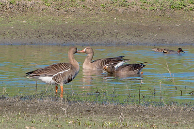 White Fronted Geese Kissing