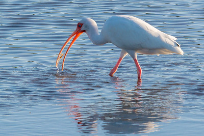 American White Ibis in Water
