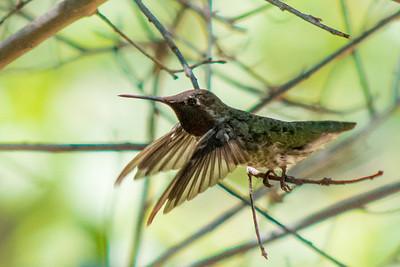 Hummingbird Taking Off
