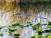 Alligator, Anhimga Trail
