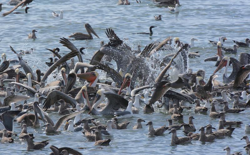 Massive feeding frenzy