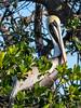 Brown Pelican, Florida Bay