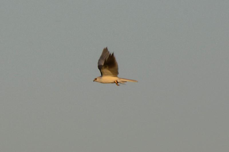 Osprey or Peregrine?