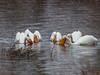 White Pelicans, Tetons