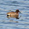 Adult Green Winged Teal Duck