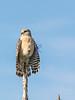 Everglades Red Shoulder Hawk